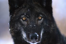Wolf Black with Amber eyes 1
