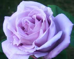 Rose Blue Moon