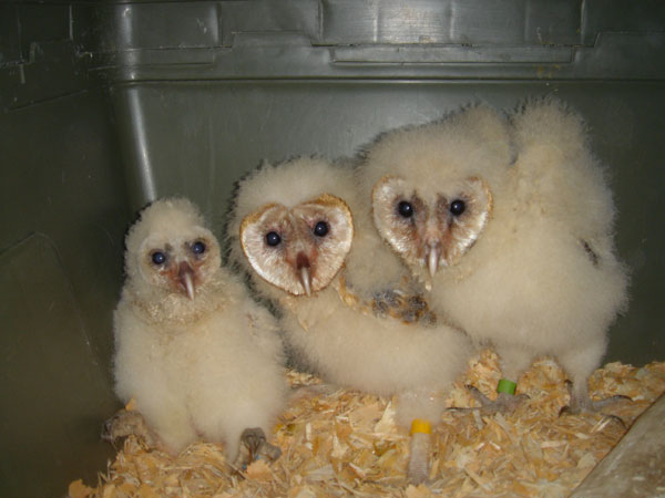 Baby Owwls