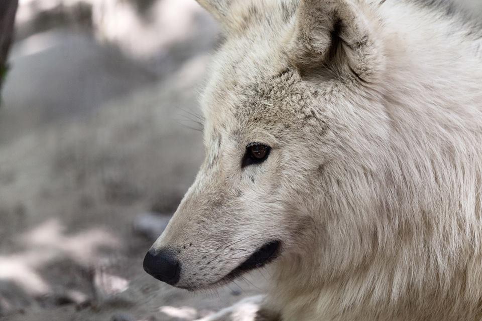 wolf-white